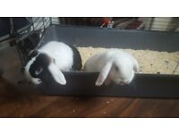 Full bread lop rabbits x2