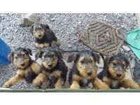 CHAMPION AIREDALE TERRIER PUPPIES FOR SALE £1100 READY NOW CONWY, NORTH WALES
