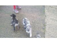 Labrador/collie cross pups