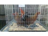 Welsummer bantams for sale