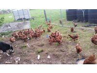 Good quality free range brown laying hens