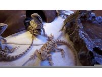 Baby bearded dragons for sale.