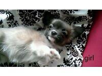 1 female chihuahua puppy