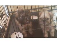 2 puganese x pugapoo puppies