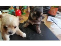 KC Registered Gorgeous Chihuahua Female Puppies for sale - £650
