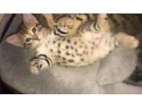 Ready Now Girl rosette full Bengal brown kitten Cat