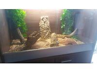 2 year old corn snake and viv full set up