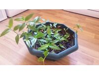 MAKE AN OFFER Wandering Jew House Plant Tradescantia fluminensis Spiderwort