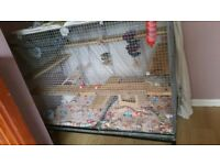2 chinchilla and large cage and all equipment