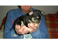 Chihuahua Registered quality Boys and Girls