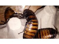 Adult giant hissing cockroaches for sale- £4 each, £3 for £10.