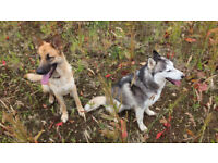 3 year old Husky & German Shepherd dogs