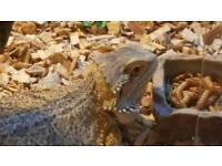 2 bearded dragons