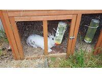 Female rabbit + hutchs + run
