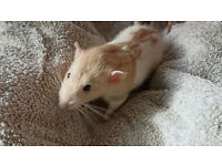 Tame male dumbo rat (with or without cage) FREE