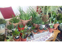 Plants healthy and organic in beautiful pots, Aloe Vera succulent cactus, spider plant, easy to grow
