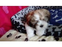 KC Reg Shih Tzu Puppies
