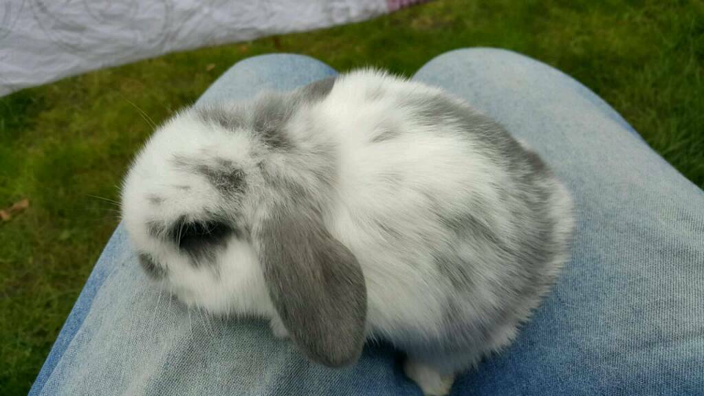 The sweetest ever mini lop baby bunnies are looking for loving homes