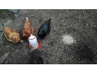Rehoming of chickens required