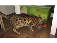 Kittens Bengal for sale