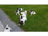 Stunning miniature jack russel puppies