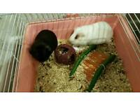 Guinea Pigs - With cage and hay
