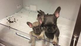 2 female french bulldog pups