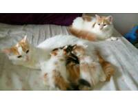 Turkish van x kittens