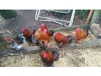 7 Chickens (Cockerels) £5 each or £30 for all