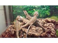 Baby bearded dragons for sale.Citrus morphs.