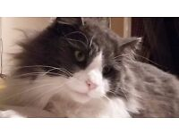 Large fluffy grey and white male cat missing since Saturday 22nd april. REWARD OFFERED FOR RETURN