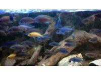 Cichlids lovely colours