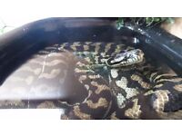 Carpet python male 2 years goregous sweet natured