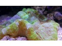 Bright green trachyphylia coral for marine
