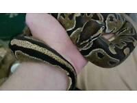 Adult Ball Python Snake