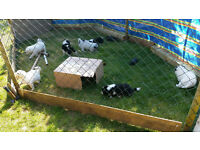 FOR SALE - Border collie pups