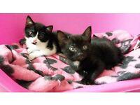 2 male kittens for sale 8-week old HATFIELD
