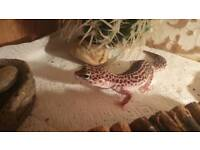 Leapord gecko