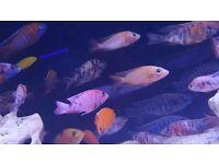 African cichlid fish, peacocks, Malawi , mbuna for tropical fish tank aquarium
