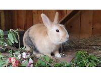 Dwarfs bunnies for sale.