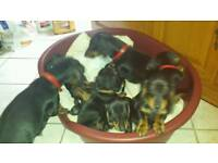 Black Tan Short Smooth Hair Standard Dachshund Puppies