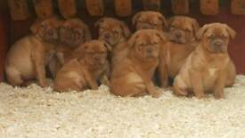 Stunning Dogue De Bordeaux Pups