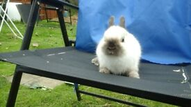 One gorgeous small seal point netherland dwarf buck rabbit