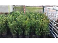 Box Hedging plants and planting delivery