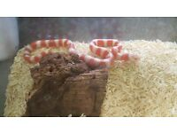 Albino Sonoran Mountain King Snake £249.99