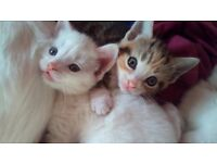 gorgeous russian white kittens for sale