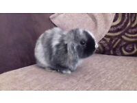 Male mini lop eared baby rabbit
