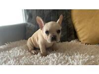 Beautiful cream french bulldog puppy
