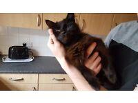 Black Siberian cat