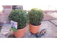 Pair of Box Plants